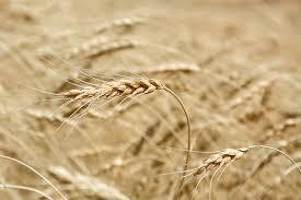 گزارش عدم اجرای قانون خرید تضمینی محصولات کشاورزی به قوه قضاییه ارجاع شد